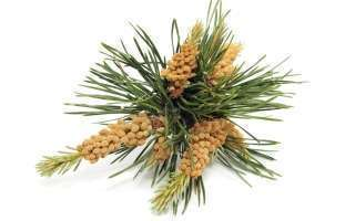 La Fleur de Bach Pine ou Pin